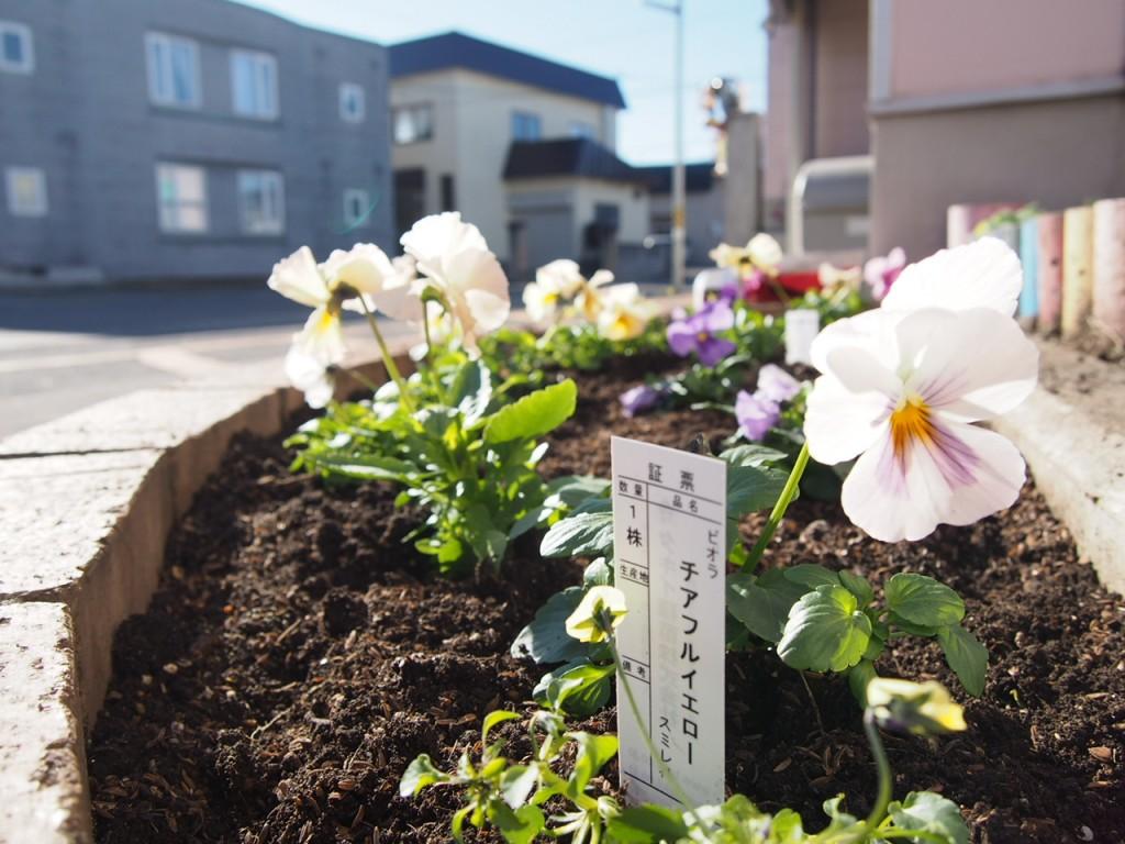 花壇にパンジーやビオラの花を植えました
