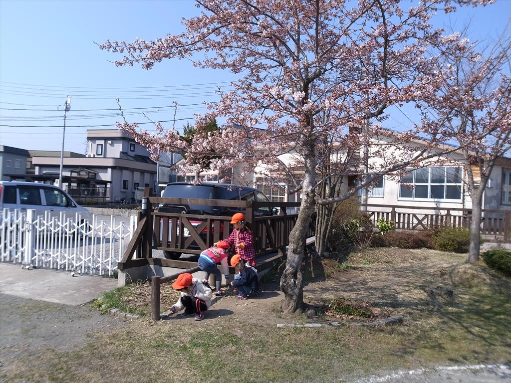 2014_0424桜・草取り0014_R2