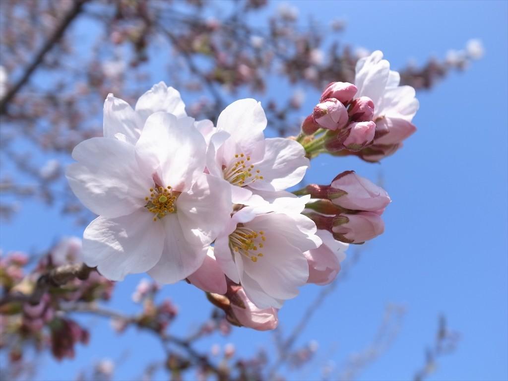 桜の開花宣言、トマトの苗植えの準備をしました